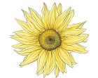 single-large-yellow-sunflower-FL30